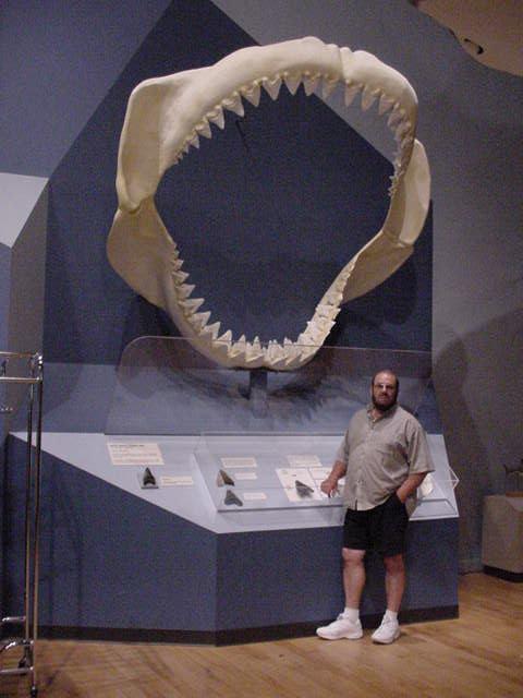 акула мегаладон.  Челюсти акулы мегалодон.
