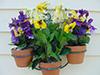 Flowers 3 pansy pots.jpg (37193 bytes)