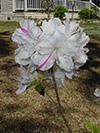 Flowers Azaleas 2.jpg (40600 bytes)