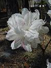 Flowers Azaleas.jpg (37398 bytes)
