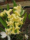 Flowers bell yellow.jpg (39979 bytes)