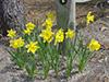 Flowers daffodils 1.jpg (40403 bytes)