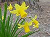 Flowers daffodils 2.jpg (40217 bytes)