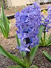 Flowers hyacinth 1.jpg (39466 bytes)