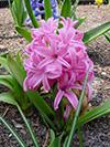 Flowers hyacinth 2.jpg (40306 bytes)