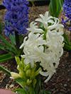Flowers hyacinth 3.jpg (37611 bytes)