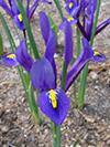 Flowers iris 2.jpg (37750 bytes)