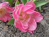 Flowers pink.jpg (37623 bytes)