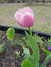 Flowers tulip pink.jpg (38486 bytes)