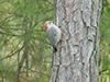 Red bellied woodpecker.jpg (40313 bytes)
