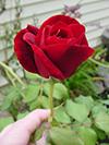 September-rose1.jpg (36358 bytes)