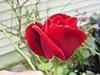 September-rose2.jpg (37205 bytes)