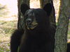 blackbear14.jpg (38477 bytes)