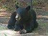 blackbear2.jpg (37423 bytes)