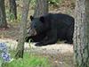 blackbear5.jpg (38673 bytes)