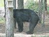 blackbear9.jpg (38532 bytes)