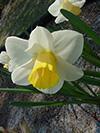 daffodils.jpg (37152 bytes)