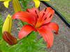 flowerorangedaylily.jpg (37318 bytes)