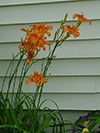 flowerorangelilies.jpg (37094 bytes)