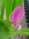 flowerpurplily1.jpg (37746 bytes)
