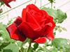 flowerredrose2.jpg (36944 bytes)
