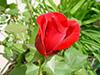 flowerredrose3.jpg (37231 bytes)