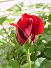 flowerredrose4.jpg (36778 bytes)