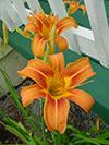 flowersliliescloseup.jpg (37409 bytes)