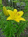 flowerylodaylily.jpg (38092 bytes)