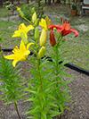 floweryloorangedaylilies.jpg (38319 bytes)