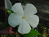 hibiscus July 05.jpg (38767 bytes)