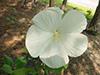july15-hibiscus.jpg (37853 bytes)