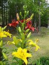 june1-daylilies.jpg (38057 bytes)