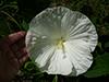 jwhtflower1.jpg (143081 bytes)
