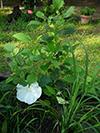 jwhtflower4.jpg (149827 bytes)