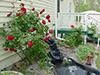 rosebush_fountain.jpg (38461 bytes)