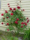 rosebush.jpg (40144 bytes)