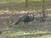 turkey.jpg (146975 bytes)