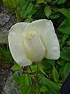 white_rose.jpg (37125 bytes)