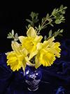 xmas06-daffodils1-4-07.jpg (125838 bytes)