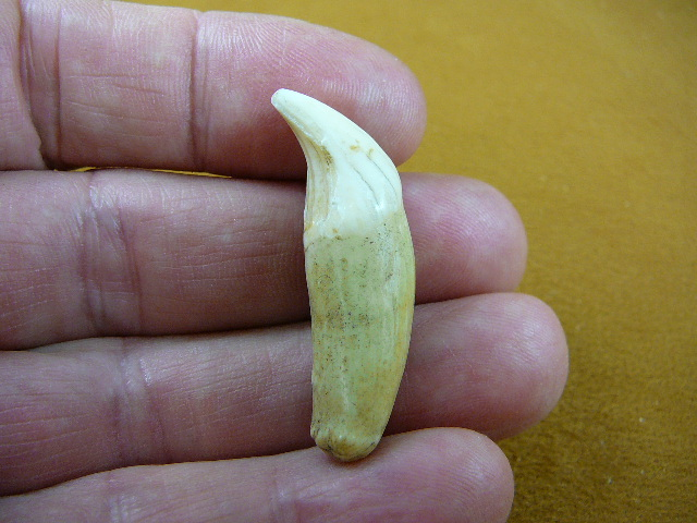 ak-tooth-39_2.jpg