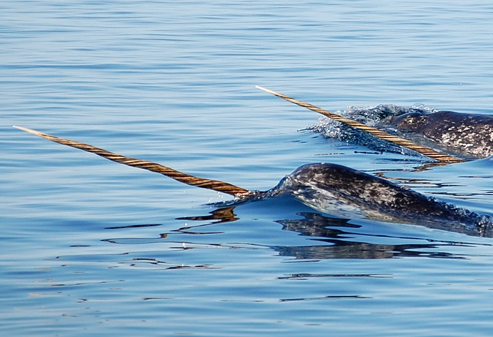 Narwhal Tusks for Sale